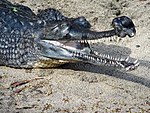 Indian Gharial at the San Diego Zoo (2006-01-03) (headshot).jpg
