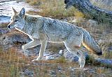 Coyote Yellowstone (cropped).jpg