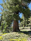 Pinus monticola Desolation Wilderness.jpg