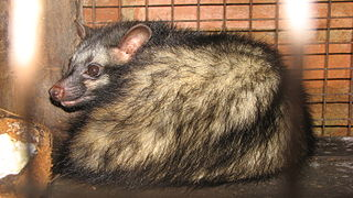 Asian Palm Civet in Cage.jpg