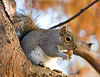 Eastern Grey Squirrel in St James's Park, London - Nov 2006.jpg