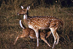 Chitals (Axis axis) doe and fawn (19723516843).jpg